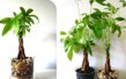 Đặt cây này trong nhà, đảm bảo tài lộc nhiều vô biên