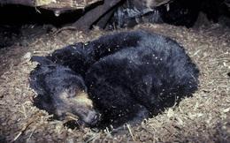 Hỏi khó: Gấu đi WC như thế nào khi ngủ đông?
