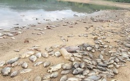 Cá chết hàng loạt, phủ trắng hồ ở Quảng Nam