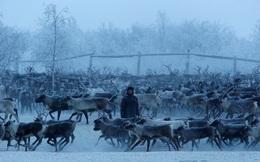 Cuộc sống khắc nghiệt không như truyện cổ tích của những chú tuần lộc giữa cái lạnh -40 độ C ở cực bắc nước Nga