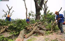 Di dời hàng cây phục vụ xây dựng đường sắt đô thị Nhổn-Ga Hà Nội