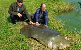 Xác cụ rùa hồ Gươm bị phân hủy nghiêm trọng