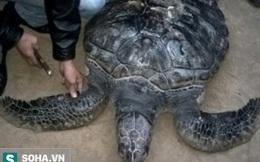 Bắt được rùa biển quý hiếm nặng 50kg có khắc chữ trên mai