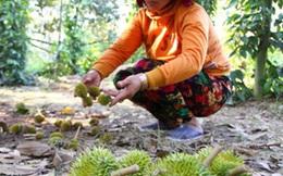 Nhà vườn Vĩnh Long thất thu hàng trăm tỉ đồng vì sầu riêng nhiễm mặn