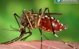 Zika tại Khánh Hòa không liên quan đến muỗi biến đổi gen