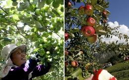 So sánh thú vị giữa thu hoạch trái cây tại Việt Nam và thế giới