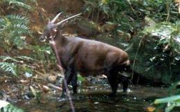 """Loài thú được coi là """"báu vật"""" và những lần từng xuất hiện ở Việt Nam"""