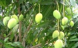 Trồng cây xoài ngoài ngõ, không chỉ ăn quả mà còn dùng lá để chữa 8 bệnh sau
