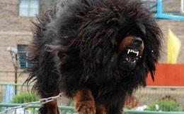 Ngao Tây Tạng đánh thua chó già trụi lông và bài học đắt giá!