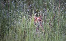 Ấn Độ: Rộ hiện tượng vứt người già vào rừng cho hổ vồ chết để trục lợi