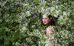 24h qua ảnh: Thiếu nữ Nga rạng rỡ giữa vườn hoa táo