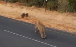 Video: Lợn rừng đực bỏ chạy, để mặc bạn tình đang ăn cỏ cho sư tử tấn công