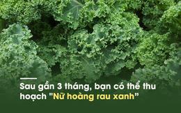 """Loại rau cải nhiều canxi hơn sữa, ngừa ung thư khiến thế giới """"phát sốt"""" đã đến Việt Nam"""
