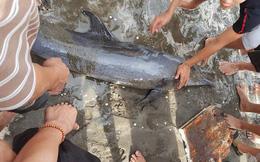 Nhiều cá heo dạt vào bờ biển Nghệ An trước giờ bão đến