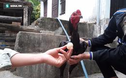 Nghệ An: Chú gà trống chọi bất ngờ đẻ trứng