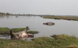 Hơn 100 con hà mã đồng loạt rủ nhau chết ngã ngửa trên đầm lầy, nguyên nhân vẫn chưa rõ