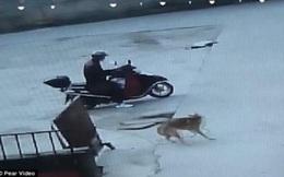 Màn trộm chó quá nhanh quá nguy hiểm của 'cẩu tặc' Trung Quốc