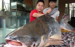 Cá khủng nặng 140kg đánh bắt ở Campuchia được mua về Hà Nội