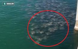 Giải mã hiện tượng kỳ lạ: Hàng trăm con cá đuối tụ tập ở bờ biển  Mỹ