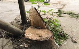 Lãnh đạo Hoài Đức: Chặt cây 'dẹp vỉa hè' không vì mục đích cá nhân