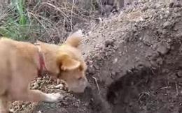 """Hành động của chú chó nhỏ khi """"anh em"""" nó bị ô tô đâm chết"""