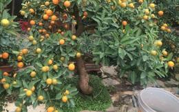 Quất bonsai: Cây tí hon, giá tiền triệu