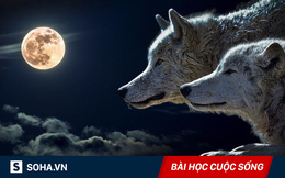 Chia thức ăn cho bầy sói, sư tử giúp báo nhìn thấu 4 bài học đắt giá ở đời!