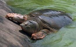 """Xác nhận không còn """"cụ rùa"""" nào ở hồ Gươm"""