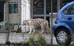 Dân hoảng loạn vì hổ trắng xổng chuồng, đi lang thang trên phố