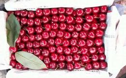 Sự thật cherry Trung Quốc 90.000 đồng/kg