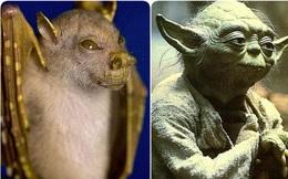 Tìm ra loài dơi có gương mặt y hệt thánh Yoda của Star War