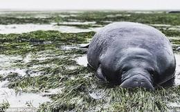 Siêu bão khiến nước rút sạch, lợn biển đen đủi mắc cạn vì không chạy kịp