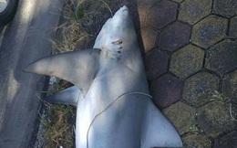 Bắt được cá mập trên vùng biển tỉnh Quảng Ninh?
