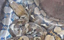 Người dân ở Đắk Lắk bắt được con vật lạ có 9 lỗ mũi, nặng 13kg