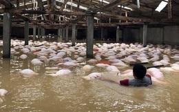 Chưa thể xử lý hàng nghìn con lợn chết tại trang trại ở Thanh Hóa