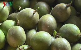 Sơn La lần đầu tiên xuất khẩu chanh leo tươi sang Pháp