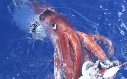 Mực khổng lồ dài hơn 5m liên tục sa lưới ngư dân