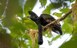 """Truy tìm loài chim có """"vật thể"""" kì lạ vừa dài vừa to lại còn cụp xòe tùy ý"""