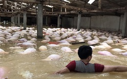 """Gần 4.000 con lợn chết trong nước lũ: """"Chúng tôi chỉ kịp dùng thuyền cứu được hơn 100 con"""""""