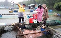 Người dân hối hả thu hoạch cá lồng phục vụ thị trường Tết
