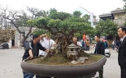 Cuộc đọ cây tiền tỷ của dân làng Triều Khúc