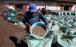 Brazil lần đầu tiên trong lịch sử nhập cà phê vối của Việt Nam