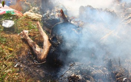 Bình Định: Heo chết như ngả rạ, đem chôn không xuể