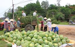 Dưa hấu Quảng Ngãi dư thừa phải làm thức ăn cho bò, Big C tuyên bố thu mua 400 tấn và bán không có lãi