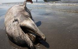 Thảm họa dầu loang giết chết hàng trăm ngàn sinh vật biển sẽ chấm dứt nhờ phát minh vĩ đại này