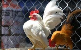 """Trại gà """"độc"""", """"có một không hai"""" tại Việt Nam của chàng kỹ sư thủy sản"""