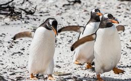 Các nhà khoa học gắn camera vào loài chim cánh cụt Gentoo và những thước phim cho ra kết quả thật bất ngờ
