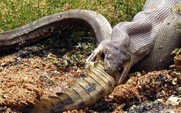 Trăn Anaconda vs Cá sấu đen - hành trình đi tìm vị vua đích thực của rừng rậm Amazon