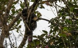 """Một trong những loài vật bí ẩn nhất rừng Amazon lần đầu tiên được """"lên ảnh"""""""