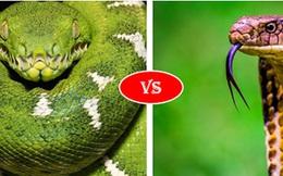 Trăn Anaconda vs rắn hổ mang chúa - quái vật đụng độ, loài nào thắng?